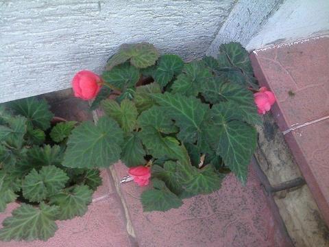 rośliny do domu i ogrodu - begonie, dalie georginie, oleander, aloes
